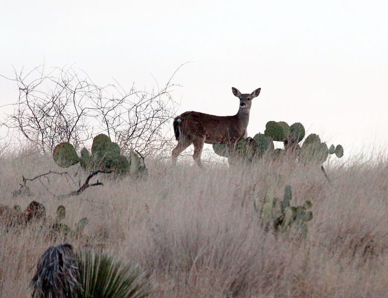 A deer eyes us from the ridge at dawn.