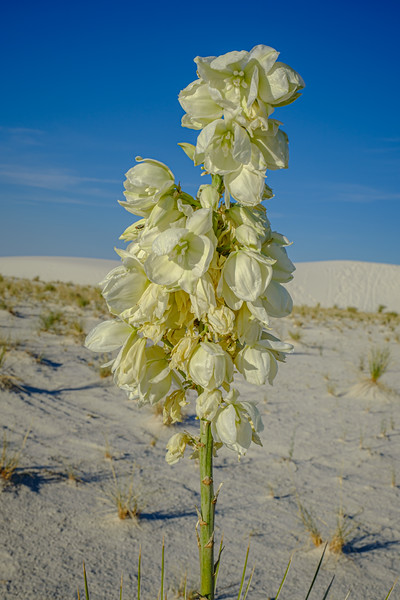 SOAPTREE YUCCA BLOOMS