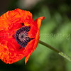19Orange_Poppy_ Abiquiu NM_May 2011_005 copy