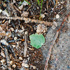 33Tree_aspen leaf_Taos  NM_May 2011_001 copy