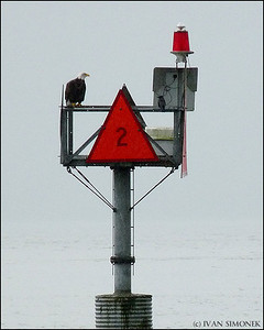 """EAGLE #2"",a Bald eagle and a Crow,Wrangell,Alaska,USA."