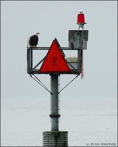 """""""EAGLE #2"""",a Bald eagle and a Crow,Wrangell,Alaska,USA."""