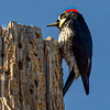 Acorn Woodpecker, Fort Davis, TX