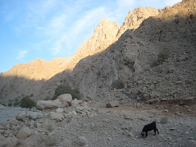 Local goat in the wadi