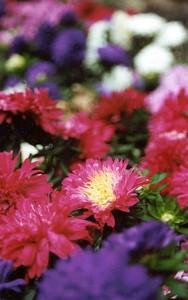 conwy-flower