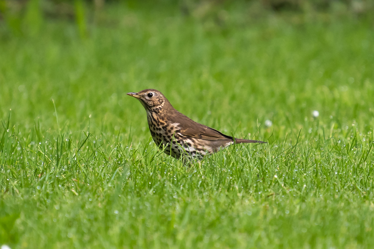 Song Thrush (Turdus philomeus))