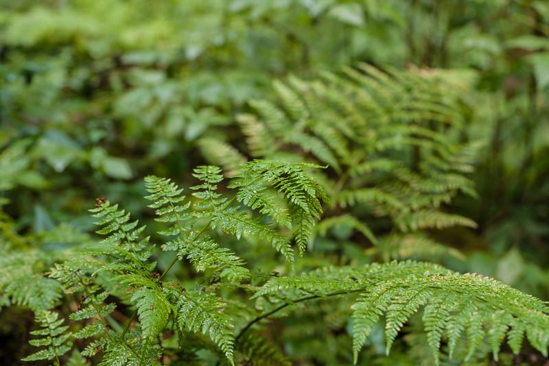 PNW ferns