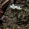 Hepatica blossoms.