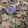 A blue phlox blooming too.