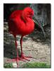 Scarlet IbisltbrgtIMG_2145w (33901247)