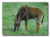 Large AntelopeltbrgtIMG_2104w (33900965)