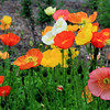 Poppies outside the Lake Louise Chateau