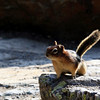 Golden-mantled ground squirrel, at the Lake Agnes Teahouse near Lake Louise