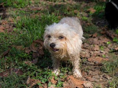 Sadie - the three-legged dynamo
