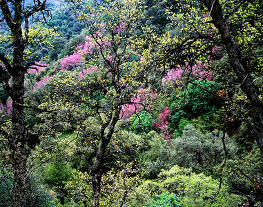 Spring blossoms in Sequoia National Park, CA
