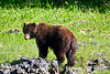 Brown bear (grizzly), Alaska