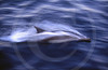 Dolphin, Sea of Cortez, Baja California, Mexico, North America.