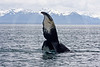 Humpback, Inside Passage, Alaska