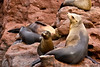 Sea lions, Los Islotes, Sea of Cortez, Baja California Sur, Mexico.