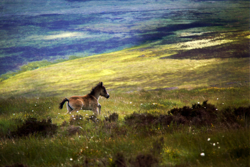 Exmoor pony foal, near Porlock, Exmoor National Park.
