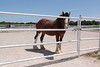 In order to join the hitch the horse must stand 18 hands, or 6 ft, high, be geldings and atleast 4 years old.