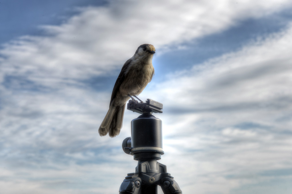 Gray Jay on Tripod