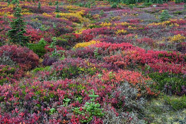 Autumn Meadow at Paradise, Mount Rainier