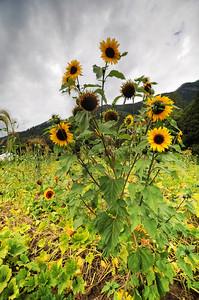 Cascadian Flowers