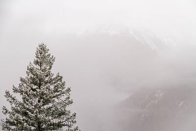Pine trees in fog