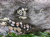 Barnacles, limpets and sea anemones.