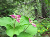 There were lots of trillium along the trail. We were the only ones hiking on it that day.