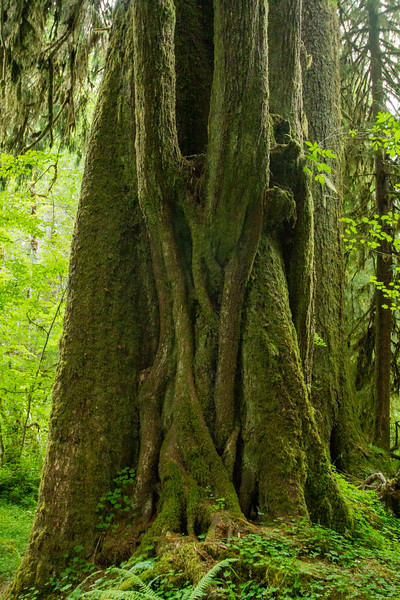Hoh Rain Forest in Olympic National Park