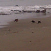 A mother river otter attempts to wrangle her two pups, who just want to play in the surf.