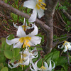 "Some flowers that we assumed were Avalanche Lillies<br />  <a href=""http://en.wikipedia.org/wiki/Erythronium"">http://en.wikipedia.org/wiki/Erythronium</a>"