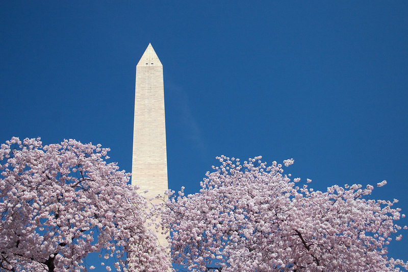 The Washington Monument and cherry blossoms