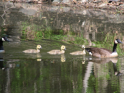 Kirsten took this photo of a family of geese in Great Falls Park.