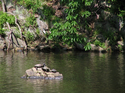 Kirsten took this photo.  Three turtles are sunbathing on a rock in the C & O Canal in Great Falls Park.