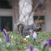 The iris were popping up through the grass.  Local squirrel.