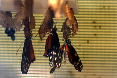 Butterfly hatchery at the Museum of Natural History.  Kind of cool to see them emerge for the first time.