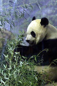 Panda habitat at the National Zoo.