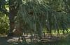 Conifer in Park near Jefferson Memorial