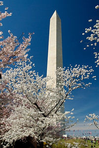 Cherry blossoms from the 2011 Washington DC Cherry Blossom Festival.