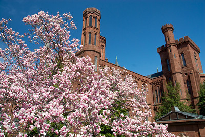 Magnolias in front of the Smithsonian.