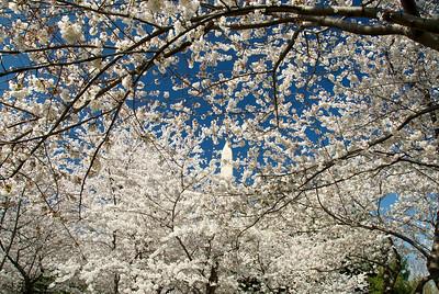 Cherry blossoms from the 2011 Washington DC Cherry Blossom Festival.