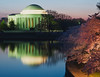 Jefferson Memorial greeting cherry blossoms at dawn