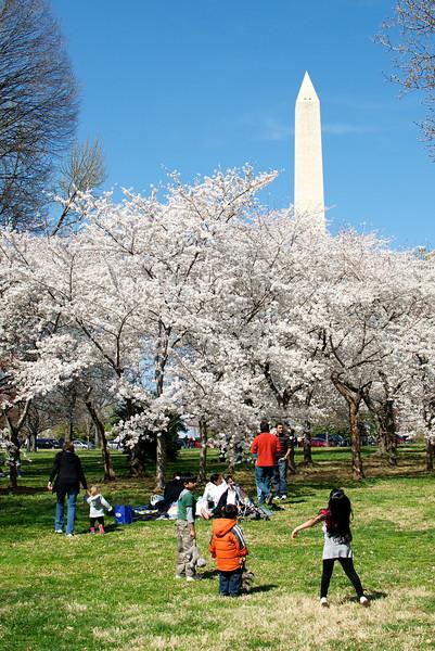 Washington D.C. Sakura