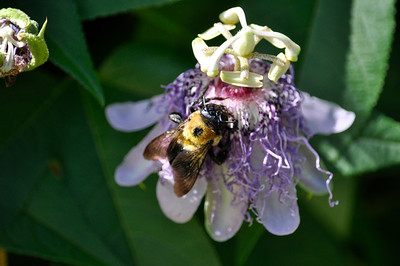Bumble bee: sleepy.