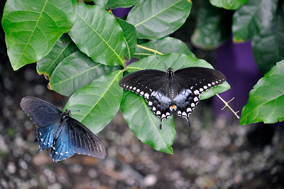 Pipevine and Spicebush Swallowtails. Africa
