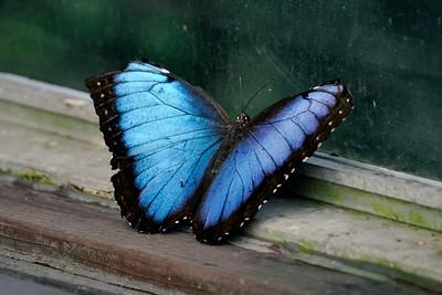 Blue Morpho.