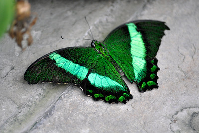 Emerald Swallowtails - tails missing.  Asian